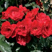 Double Red Simplicity Hedge Rose Alternate Image 1