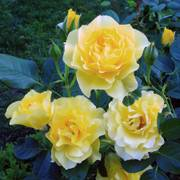 Walking on Sunshine™ Floribunda Rose