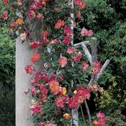 'Joseph's Coat' Climbing Rose