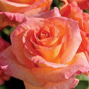 'Mardi Gras' 24-inch Tree Rose