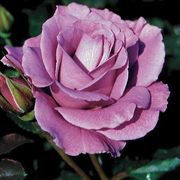 Angel Face 24-Inch Tree Rose