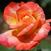 'Tropical Sun' Floribunda Rose