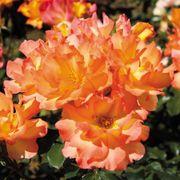 Tropical Sun Floribunda Rose
