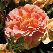 'Caribbean Breeze' Floribunda Rose