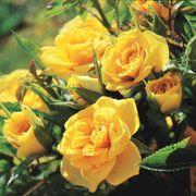 Sun Sprinkles Miniature Rose