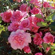 'Social Climber' Climbing Rose