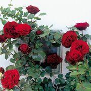 Don Juan Climbing Rose Alternate Image 2
