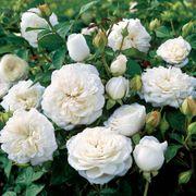 Pure Perfume™ Shrub Rose
