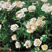 White Simplicity® Hedge Rose