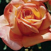 Tahitian Sunset Hybrid Tea Rose