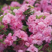 Azalea Bloom-a-Thon® Pink Double