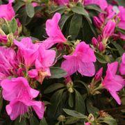 Bloom-a-Thon® Lavender Azalea