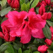 Azalea Bloom-a-Thon® Red Alternate Image 1