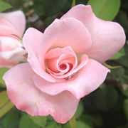 April in Paris Hybrid Tea Rose