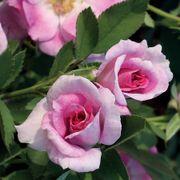 Jane Seymour Floribunda Rose