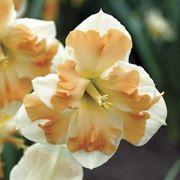 Cum Laude Daffodil - Pack of 10