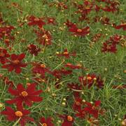 Red Satin Coreopsis