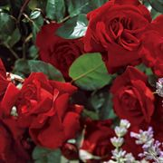 Black Cherry Floribunda Rose Alternate Image 1