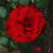 Black Cherry Floribunda Rose Alternate Image 2