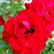 Black Cherry Floribunda Rose Alternate Image 3