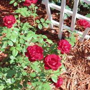 Black Cherry Floribunda Rose Alternate Image 4