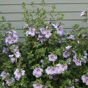 Azurri Satin® Rose of Sharon