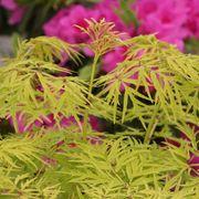 Sambucus Lemony Lace® Alternate Image 1