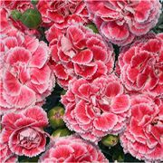 Coral Reef Dianthus