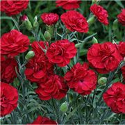 Passion Dianthus