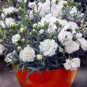 Early Bird™ Frosty Dianthus