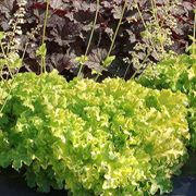 Lime Ruffles Heuchera
