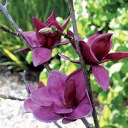 Genie Magnolia