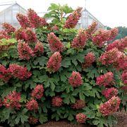Ruby Slippers Hydrangea