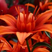 Red Twin® Asiatic Lily - Pack of 3