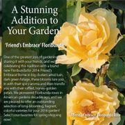 Friend's Embrace Floribunda Rose Alternate Image 1