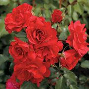 Crush on You 24-inch Tree Rose