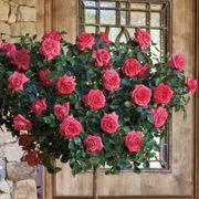 'Astounding Glory' 36-inch Tree Rose