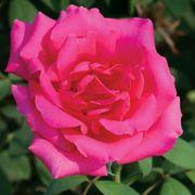 Astounding Glory 36-inch Tree Rose