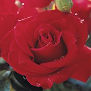 Veterans' Honor® 36-inch Tree Rose