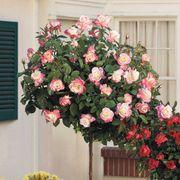 Peace 36-inch Standard Tree Rose