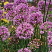 Allium 'Millenium' Alternate Image 1