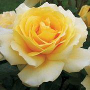 Winter Sun™ Eleganza® Hybrid Tea Rose
