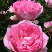 Beverly™ Hybrid Tea Rose