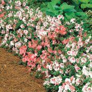 Rhododendron Hilda Niblett