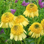 Meteor Yellow Coneflower