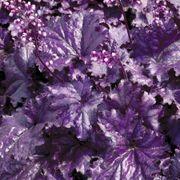 Heuchera Forever® Purple Alternate Image 2