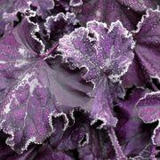 Heuchera Forever® Purple Alternate Image 3