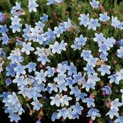 Crystal Blue Lithodora