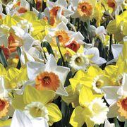 Citrus Splash Daffodil Blend - Pack of 20