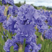 Tall Bearded Iris 'Sea Power'
